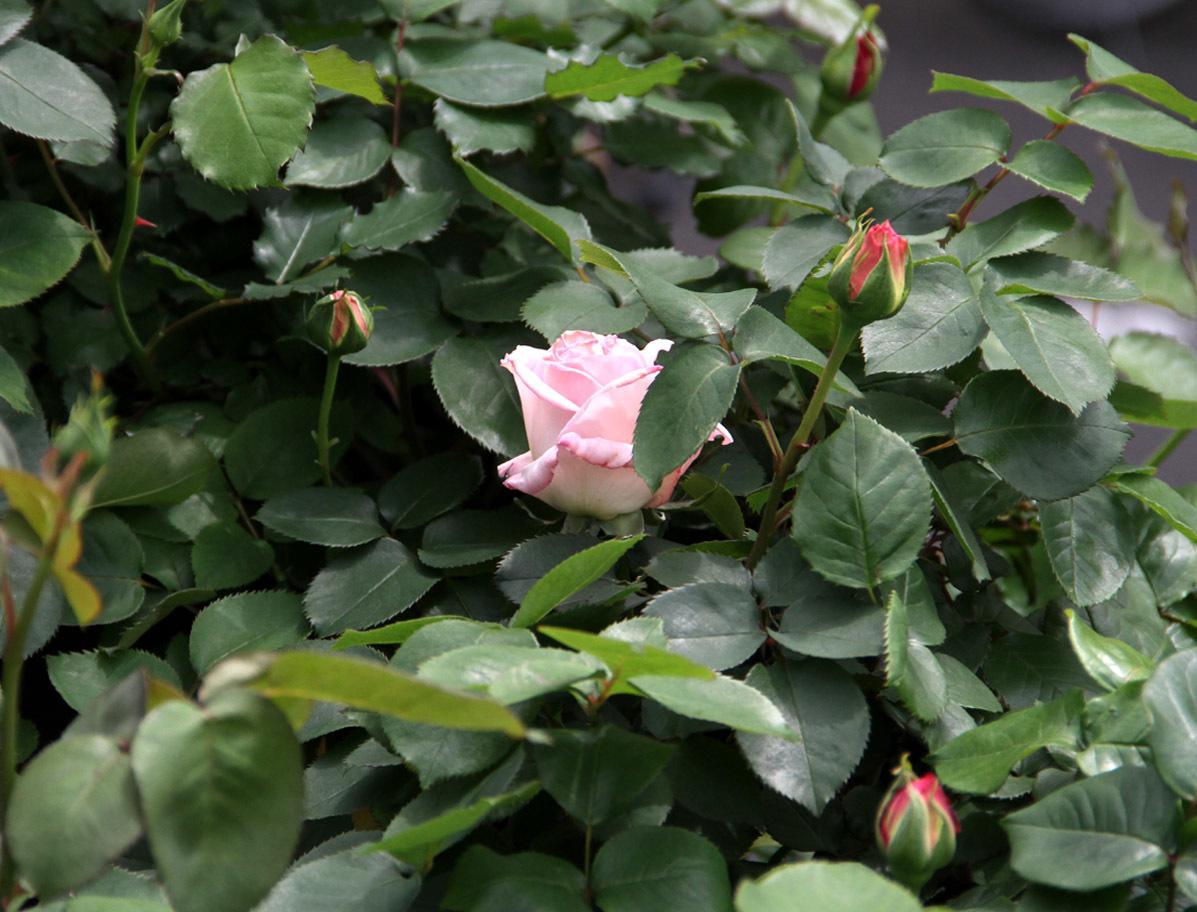 4月20日のバラ(3)