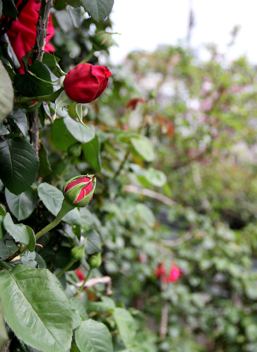 4月20日のバラ(2)