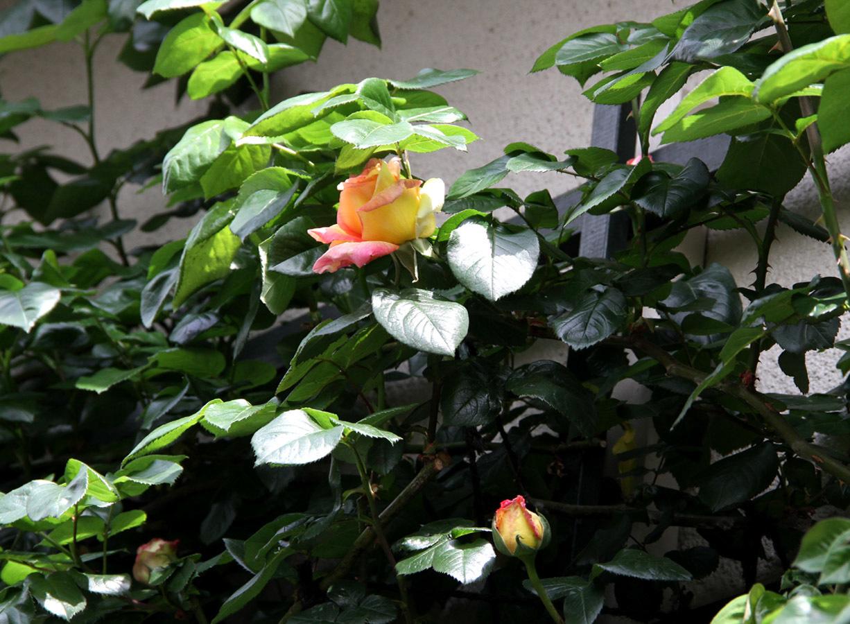 4月20日のバラ(7)