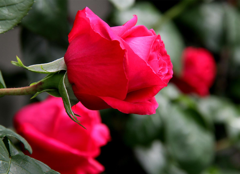 4月26日のバラ(3)