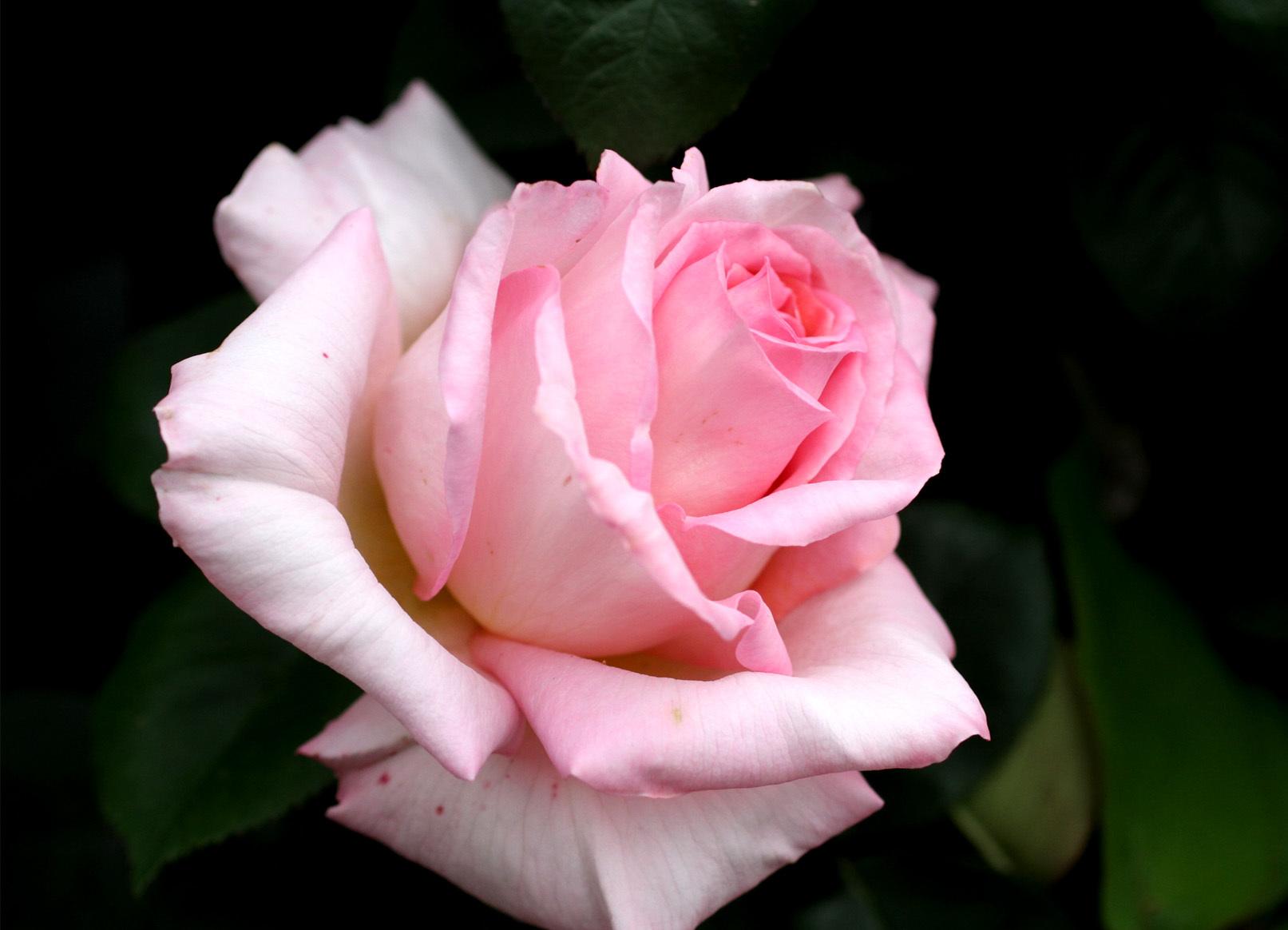 4月26日のバラ(4)
