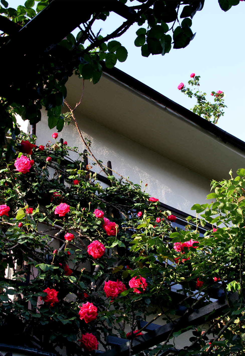 4月30日のバラ(4)