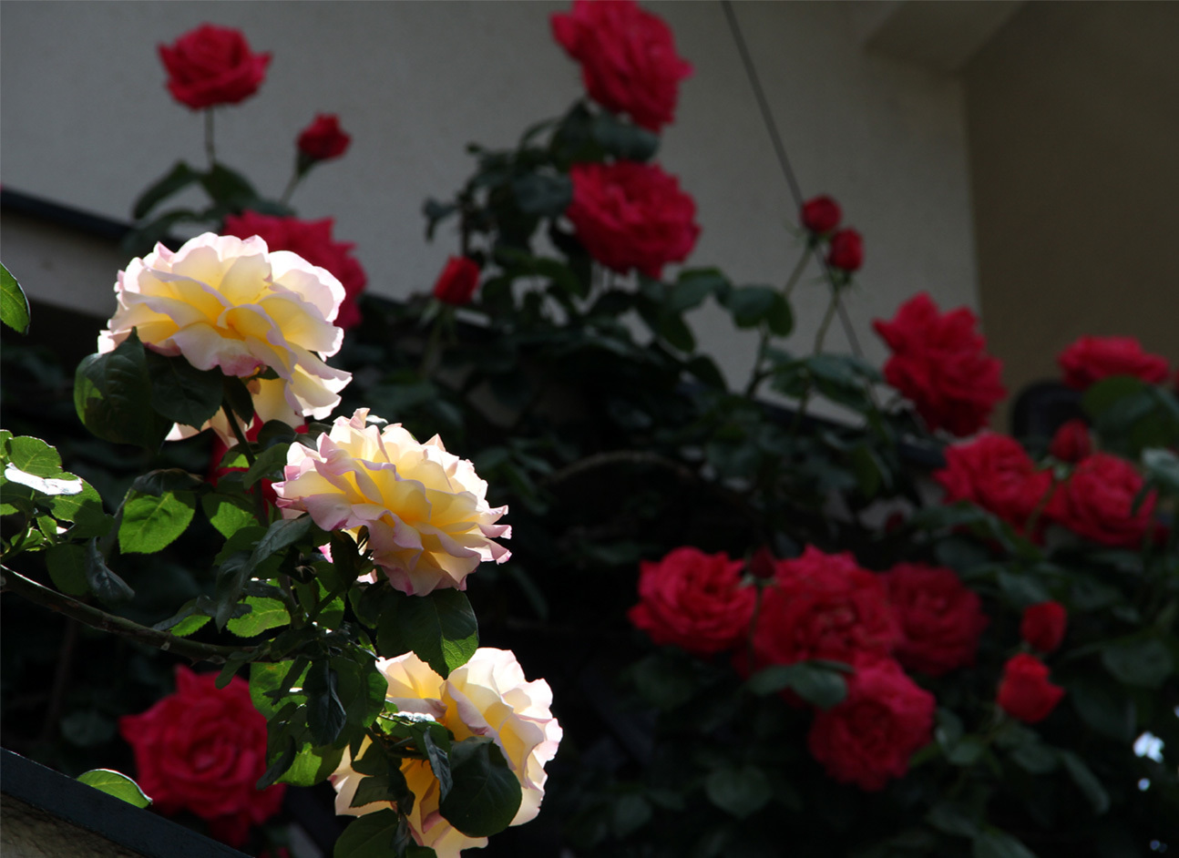 5月5日のバラ模様(1)