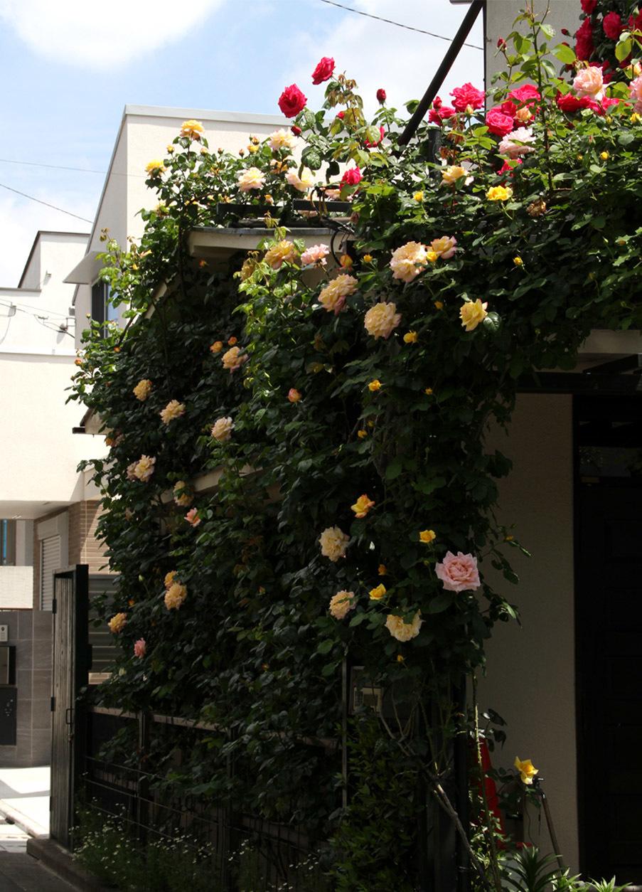 5月5日のバラ模様(4)