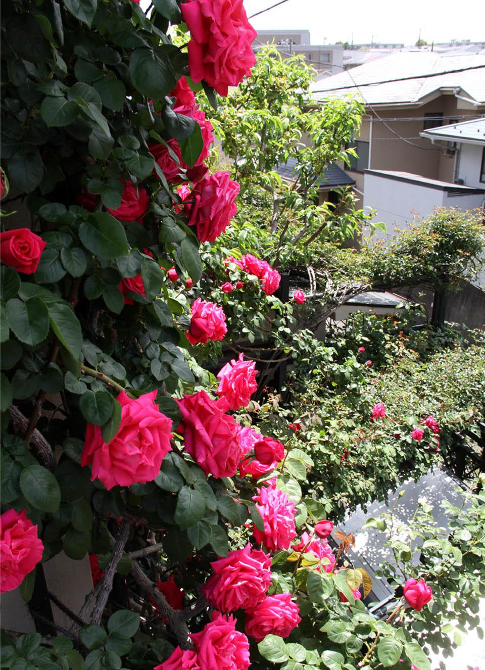 5月5日のバラ模様(5)