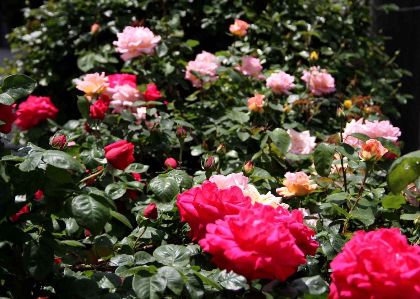 5月5日のバラ模様(6)