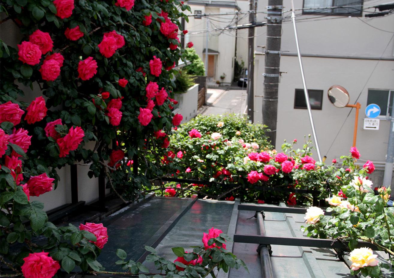 5月5日のバラ模様(8)