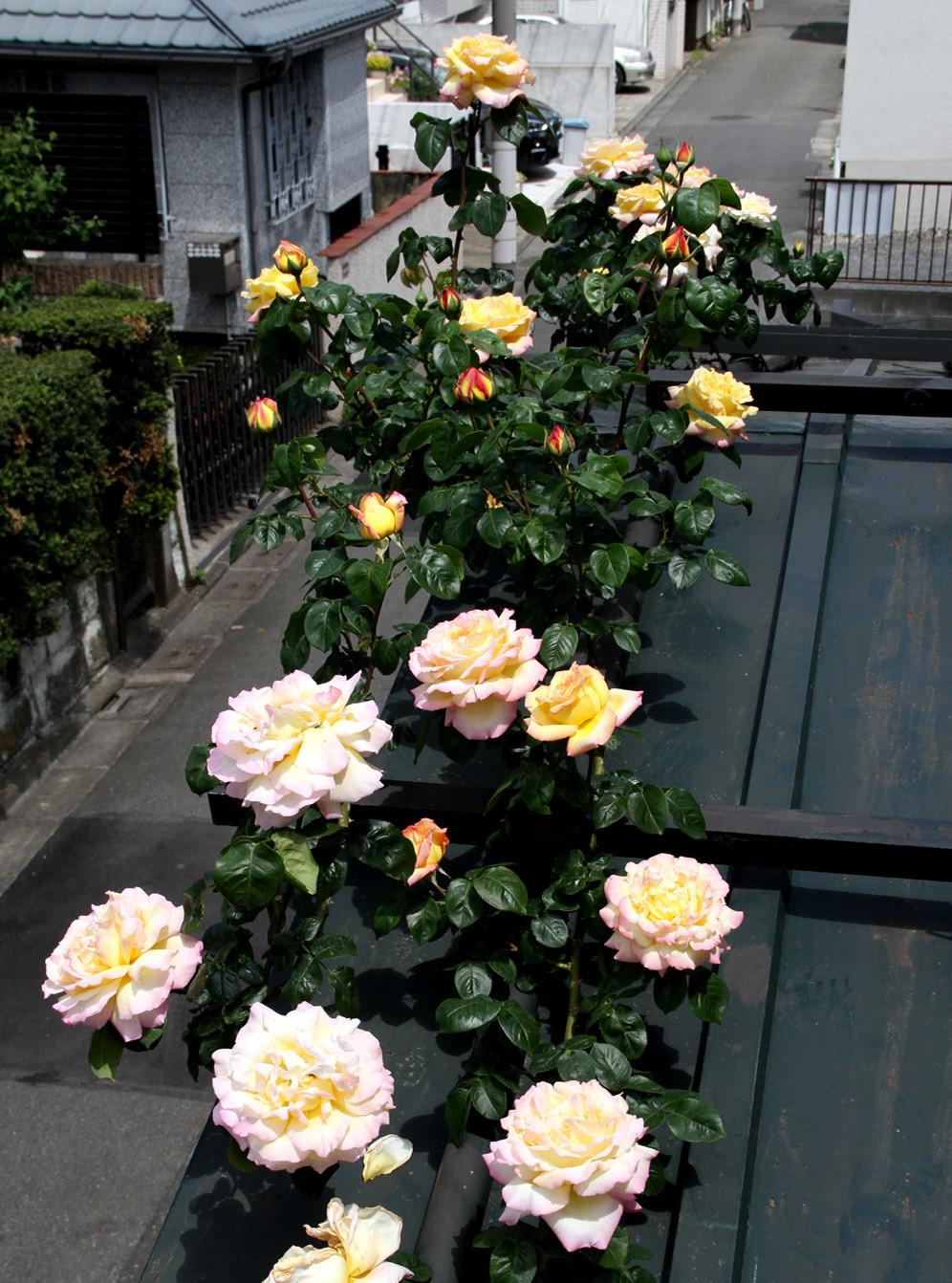 5月5日のバラ模様(10)
