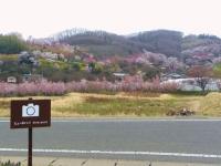 福島花見山6