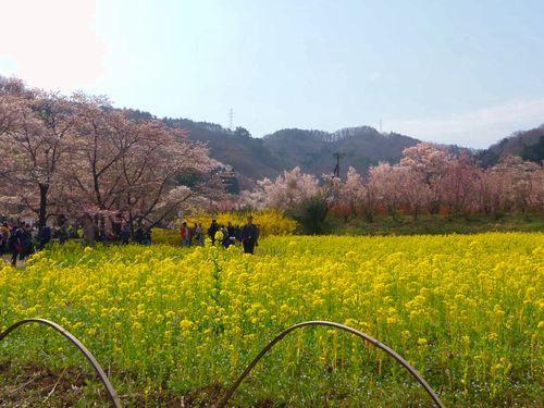 福島花見山8