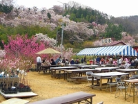 福島花見山11