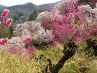福島花見山17