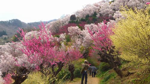 福島花見山18