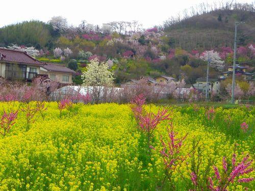 福島花見山26