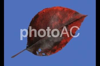 切り抜き写真素材 落ち葉03