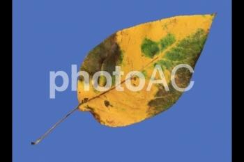 切り抜き写真素材 落ち葉06