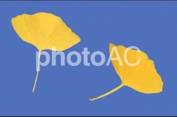 切り抜き写真素材 落ち葉10