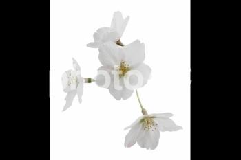 切り抜き写真素材 桜の花びら 16-01