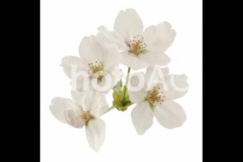 切り抜き写真素材 桜の花びら 16-02