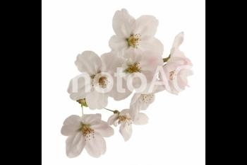 切り抜き写真素材 桜の花びら 16-03