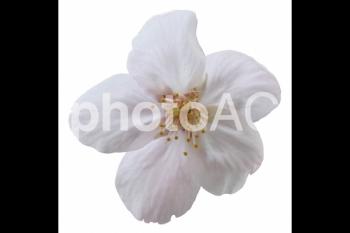 切り抜き写真素材 桜の花びら 16-05