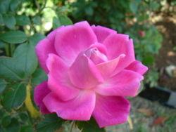 250px-Rosa_chinensis_petals.jpg