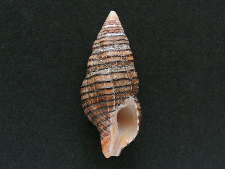 スジグロニシキニナ-腹面