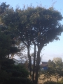 樫の木のあたりにウグイス。