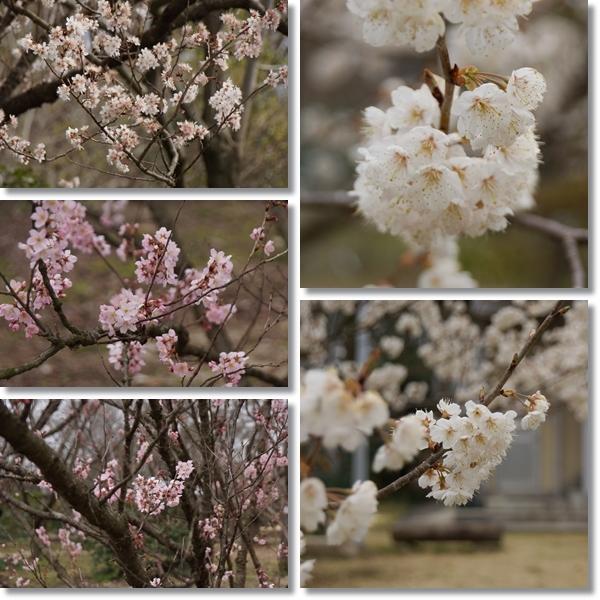 桜の花が咲き始めたこの時期に1