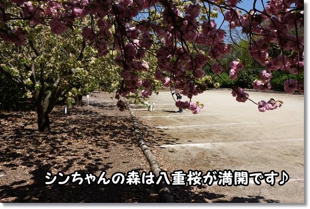 八重桜 満開♪1