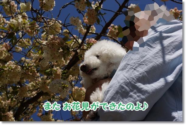八重桜 満開♪2