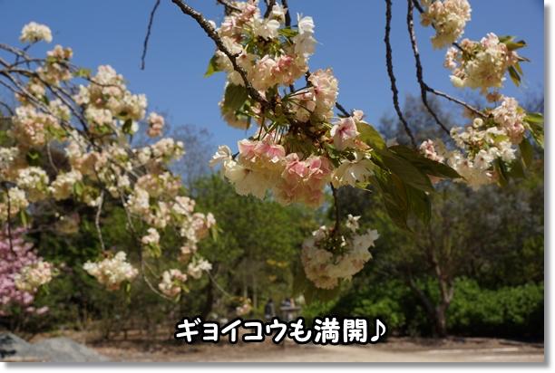 八重桜 満開♪3