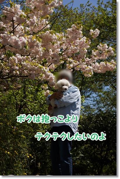 八重桜 満開♪5