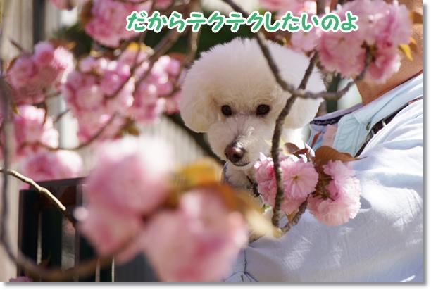 八重桜 満開♪6