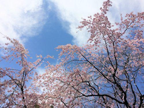 枝垂桜@六義園