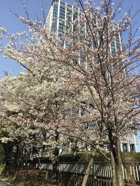 桜_2017040702