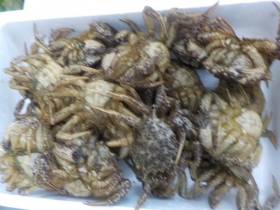 15トゲクリ蟹201747