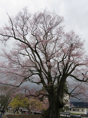 IMG_6596 安富桜