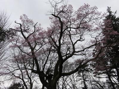 IMG_6656 千代蔵桜