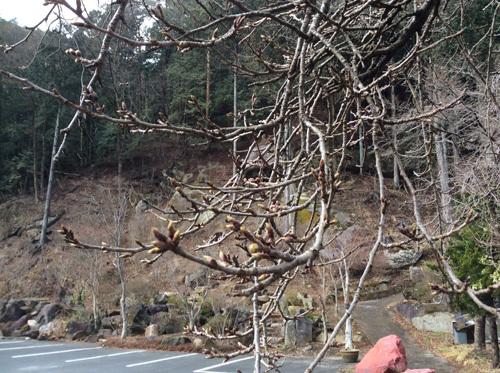 20170402 昇仙峡 滝上駐車場の桜