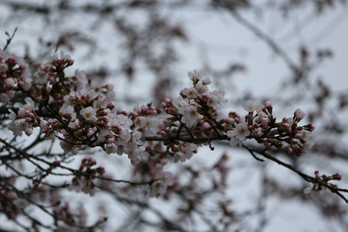 20170408渓谷道の桜 (2)