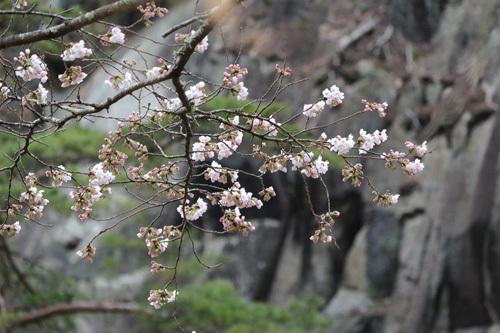 20170408渓谷道の桜