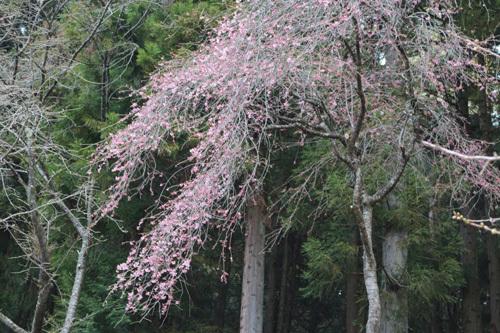 20170416 金櫻神社の桜 (7)