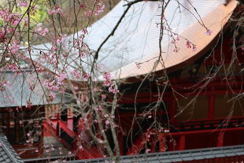20170416 金櫻神社の桜 (2)