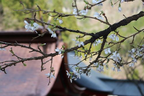 20170416 金櫻神社の桜 (3)