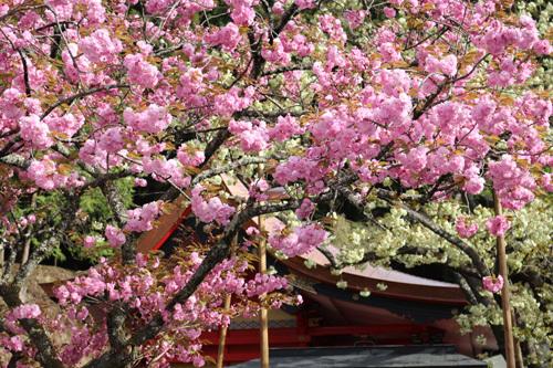 20170503 金櫻神社の桜 (1)