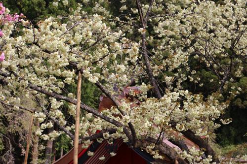 20170503 金櫻神社の桜 (5)