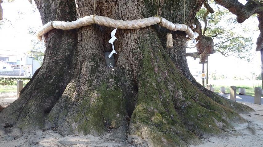 環境省巨樹調査データでは幹周13mあまり