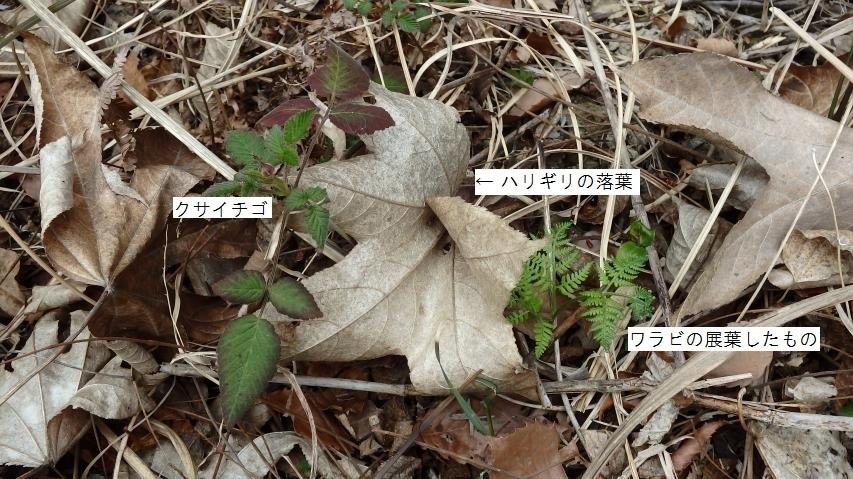 ハリギリの落葉