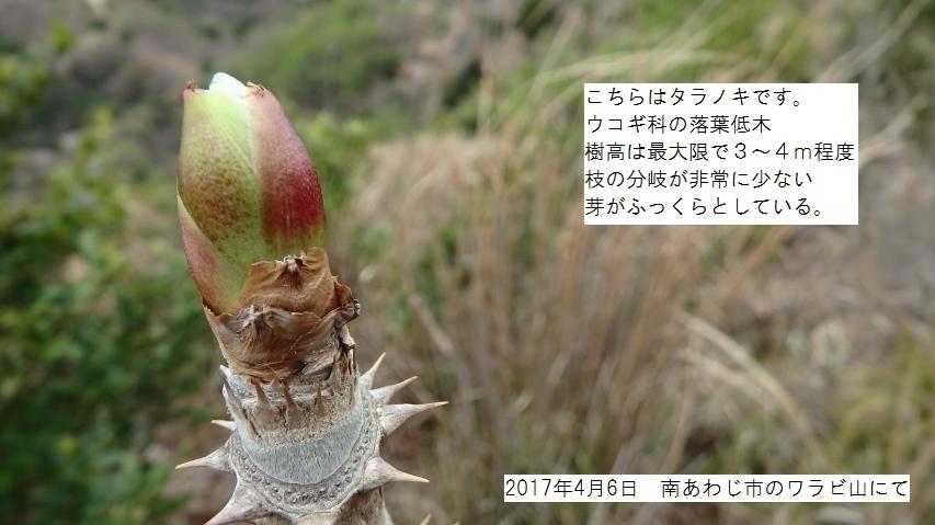 タラノキの芽